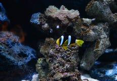 Δίχρωμο Angelfish Στοκ εικόνες με δικαίωμα ελεύθερης χρήσης