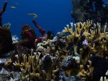 Δίχρωμο Damselfish στοκ εικόνες