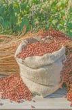 Δίχρωμο subsp σόργου drummondii στοκ εικόνες