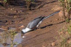 Δίψα απόσβεσης: Ένα γκρίζο Lorie ή πηγαίνει μακριά πουλί στοκ εικόνες