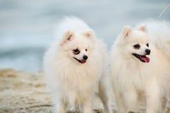 Δίδυμα σκυλιά, δύο σκυλιά στο λευκό παραλιών Στοκ Εικόνες