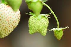Δίδυμη φράουλα Στοκ εικόνα με δικαίωμα ελεύθερης χρήσης