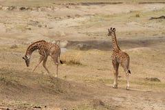 Δίδυμη giraffes μωρών βοσκή Στοκ Εικόνες