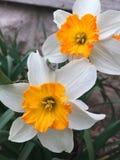Δίδυμο Daffodils Στοκ Φωτογραφίες