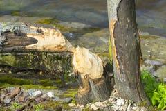 Δαγκώνοντας κάστορας δέντρων στοκ φωτογραφία