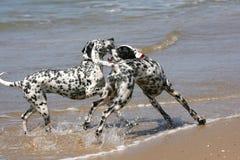 δαλματικά σκυλιά που παί&ze στοκ φωτογραφία με δικαίωμα ελεύθερης χρήσης