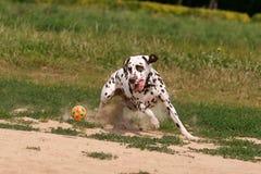 Δαλματικά τρεξίματα και παιχνίδια σκυλιών με τη σφαίρα στοκ φωτογραφίες