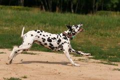 Δαλματικά τρεξίματα και παιχνίδια σκυλιών στοκ εικόνες