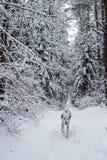 Δαλματικά τρεξίματα κατά μήκος της λευκιάς σαν το χιόνι πορείας σε ένα όμορφο χιονώδες δάσος στοκ φωτογραφία με δικαίωμα ελεύθερης χρήσης