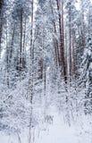Δαλματικά τρεξίματα στο όμορφο χειμερινό δάσος με πολλούς κλαδίσκους που καλύπτονται στο χιόνι στοκ εικόνες