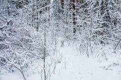 Δαλματικά τρεξίματα στο όμορφο χειμερινό δάσος με πολλούς κλαδίσκους που καλύπτονται στο χιόνι στοκ φωτογραφίες
