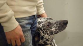 Δαλματική μετάβαση σε έναν περίπατο Από τη Δαλματία που οδηγούν στον ανελκυστήρα με τον ιδιοκτήτη Το σκυλί αγαπά να οδηγήσει στον Στοκ φωτογραφία με δικαίωμα ελεύθερης χρήσης