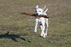 Δαλματικό σκυλί που τρέχει στη χλόη υπαίθρια Εκλεκτική εστίαση Στοκ Εικόνες