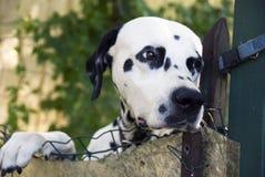 δαλματικό σκυλί στοκ εικόνες με δικαίωμα ελεύθερης χρήσης