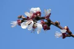 δαμάσκηνα λουλουδιών στοκ φωτογραφίες με δικαίωμα ελεύθερης χρήσης