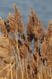 Δαμάσκηνα Phragmites Στοκ εικόνα με δικαίωμα ελεύθερης χρήσης