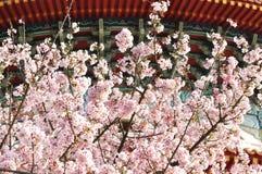 δαμάσκηνο λουλουδιών στοκ φωτογραφίες