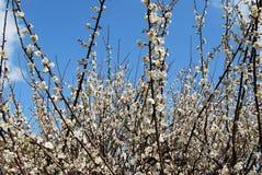 δαμάσκηνο λουλουδιών Στοκ εικόνες με δικαίωμα ελεύθερης χρήσης