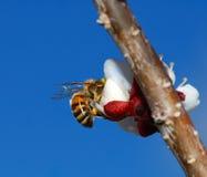 δαμάσκηνο μελισσών λου&lamb Στοκ εικόνες με δικαίωμα ελεύθερης χρήσης