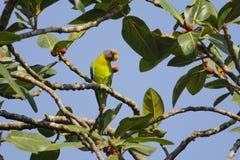 Δαμάσκηνο που διευθύνεται parakeet με τα φρούτα Στοκ Εικόνες