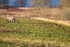 Δανική αγελάδα Στοκ εικόνες με δικαίωμα ελεύθερης χρήσης