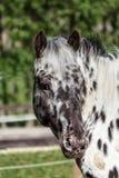 Δανικό άλογο Knabstrupper φυλής Στοκ φωτογραφία με δικαίωμα ελεύθερης χρήσης