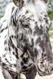 Δανικό άλογο Knabstrupper φυλής Στοκ Φωτογραφίες