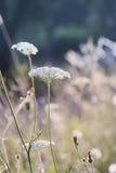 Δαντέλλα βασίλισσας Anne's wildflower Στοκ φωτογραφία με δικαίωμα ελεύθερης χρήσης