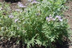 Δαντελλωτός φύλλα και ιώδη λουλούδια του tanacetifolia Phacelia στοκ εικόνα