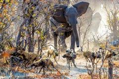 Δαπάνη ελεφάντων Στοκ Εικόνα