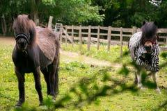 Δασικά άλογα Epping στοκ φωτογραφία με δικαίωμα ελεύθερης χρήσης