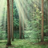 Δασικά δέντρα με τις κίτρινες ακτίνες ήλιων που λάμπουν κατευθείαν Στοκ εικόνες με δικαίωμα ελεύθερης χρήσης
