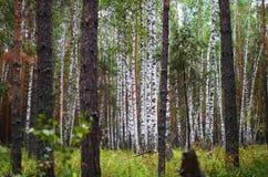 Δασικά δέντρα ομορφιάς φύσης σιωπής Στοκ Φωτογραφία