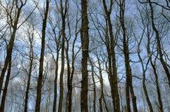 Δασικά δέντρα χωρίς φύλλα Στοκ Εικόνες