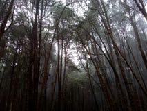 δασικά δέντρα πεύκων στοκ φωτογραφία με δικαίωμα ελεύθερης χρήσης