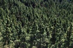 δασικά δέντρα πεύκων Στοκ εικόνα με δικαίωμα ελεύθερης χρήσης