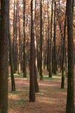 Δασικά δέντρα φθινοπώρου κίτρινα ξύλινα υπόβαθρα φωτός του ήλιου φύσης στοκ εικόνες