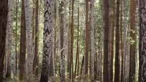 Δασικά δέντρα φθινοπώρου Πράσινες ξύλινες ανασκοπήσεις φωτός του ήλιου φύσης Δέντρο με τα χρυσά φύλλα το φθινόπωρο και sunrays Στοκ Εικόνα