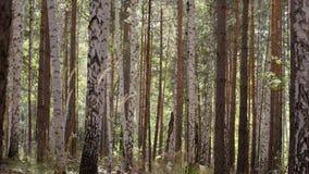 Δασικά δέντρα φθινοπώρου Πράσινες ξύλινες ανασκοπήσεις φωτός του ήλιου φύσης Δέντρο με τα χρυσά φύλλα το φθινόπωρο και sunrays Στοκ Φωτογραφίες