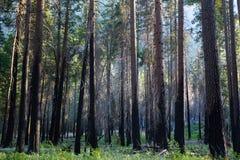 Δασικά δέντρα Στοκ εικόνες με δικαίωμα ελεύθερης χρήσης