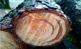 Δασικά δαχτυλίδια δέντρων ξύλων κούτσουρων δέντρων στοκ φωτογραφία με δικαίωμα ελεύθερης χρήσης