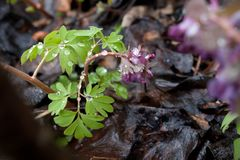 Δασικά λουλούδια άνοιξη με τις πτώσεις δροσιάς Στοκ Εικόνα