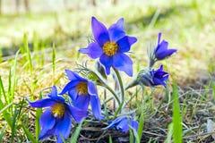 Δασικά λουλούδια Pulsatilla, όνειρο-χλόη Στοκ Φωτογραφίες