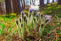 Δασικά λουλούδια Pulsatilla, όνειρο-χλόη Στοκ Φωτογραφία