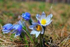 Δασικά λουλούδια Pulsatilla, όνειρο-χλόη Στοκ Εικόνες
