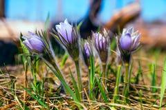 Δασικά λουλούδια Pulsatilla, όνειρο-χλόη Στοκ εικόνα με δικαίωμα ελεύθερης χρήσης