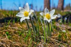 Δασικά λουλούδια Pulsatilla, όνειρο-χλόη Στοκ φωτογραφία με δικαίωμα ελεύθερης χρήσης