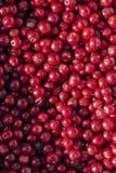 Δασικά cowberries (foxberries) Στοκ Φωτογραφία
