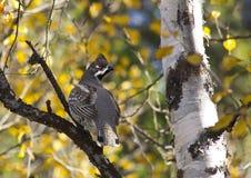 Δασικές άγρια περιοχές αγριόγαλλων στοκ φωτογραφία με δικαίωμα ελεύθερης χρήσης
