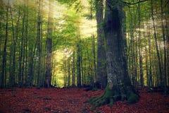 Δασικές ακτίνες Στοκ φωτογραφία με δικαίωμα ελεύθερης χρήσης